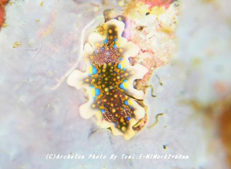 181222-tom-04ceratosoma